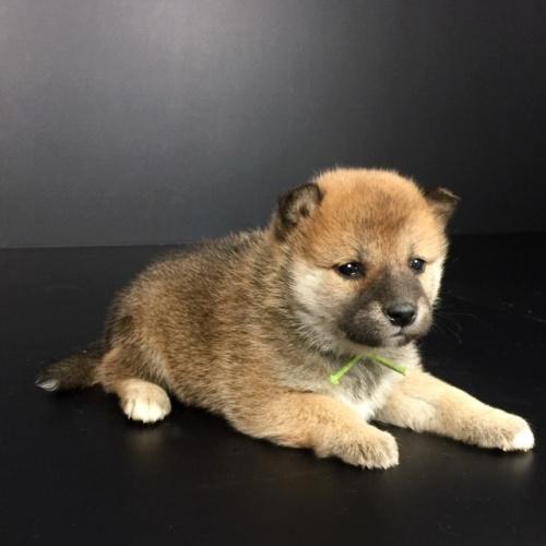 柴犬の子犬(ID:1262511633)の3枚目の写真/更新日:2018-11-30