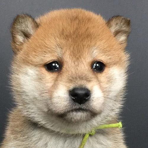 柴犬の子犬(ID:1262511634)の1枚目の写真/更新日:2018-12-01