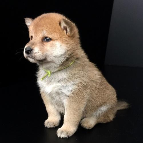 柴犬の子犬(ID:1262511634)の2枚目の写真/更新日:2018-12-01