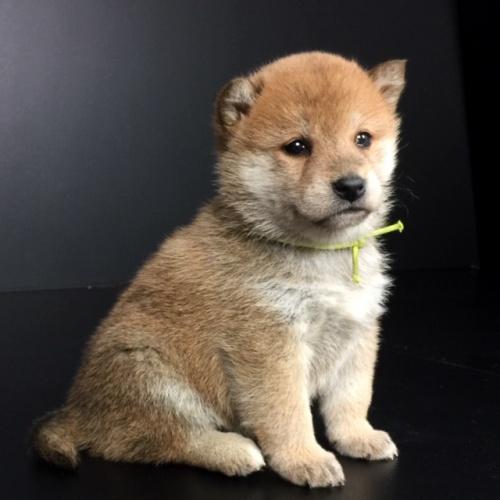 柴犬の子犬(ID:1262511634)の3枚目の写真/更新日:2018-12-01