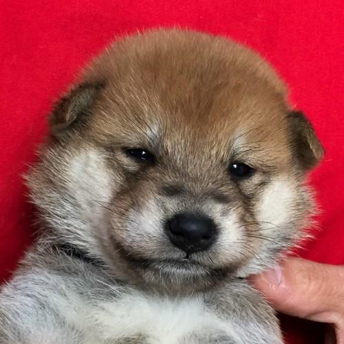 柴犬の子犬(ID:1262511635)の1枚目の写真/更新日:2018-11-24