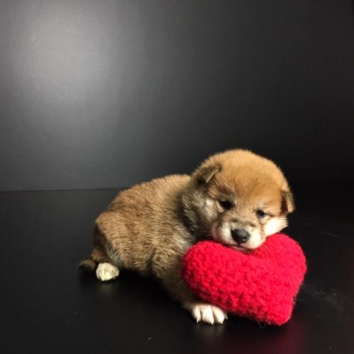 柴犬の子犬(ID:1262511635)の2枚目の写真/更新日:2018-11-24