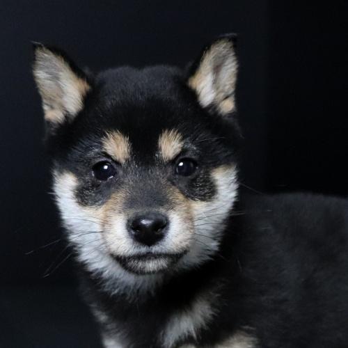 柴犬の子犬(ID:1262511636)の1枚目の写真/更新日:2019-01-10