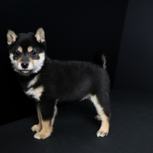 柴犬の子犬(ID:1262511636)の2枚目の写真/更新日:2019-01-10