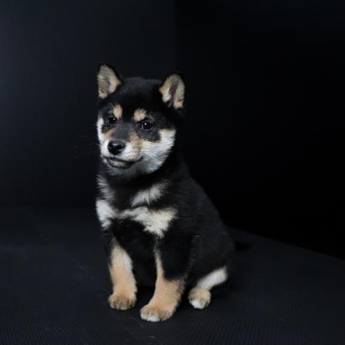 柴犬の子犬(ID:1262511636)の3枚目の写真/更新日:2019-01-10
