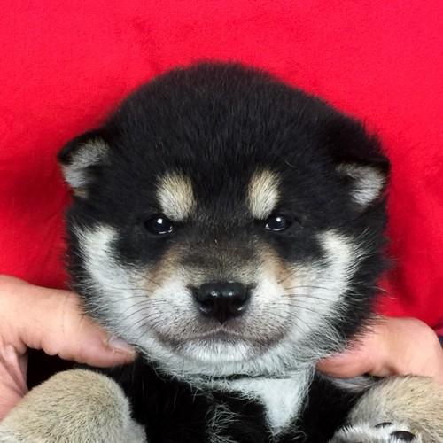 柴犬の子犬(ID:1262511637)の1枚目の写真/更新日:2018-12-04