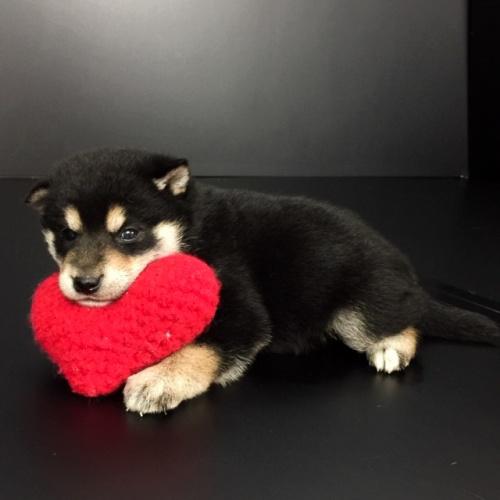 柴犬の子犬(ID:1262511637)の2枚目の写真/更新日:2018-12-04