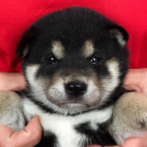 柴犬の子犬(ID:1262511638)の1枚目の写真/更新日:2018-12-04