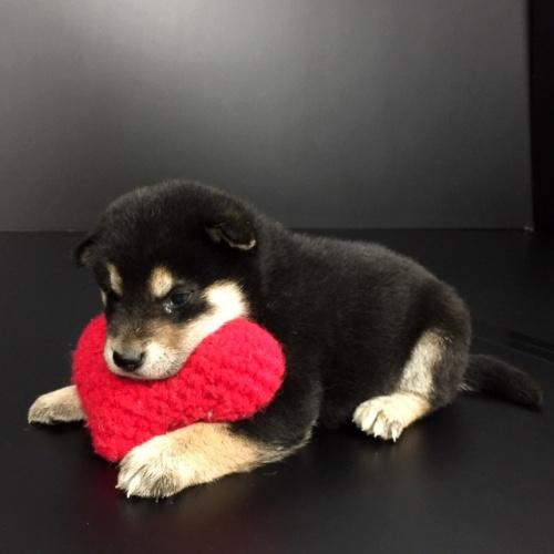 柴犬の子犬(ID:1262511638)の2枚目の写真/更新日:2018-12-04