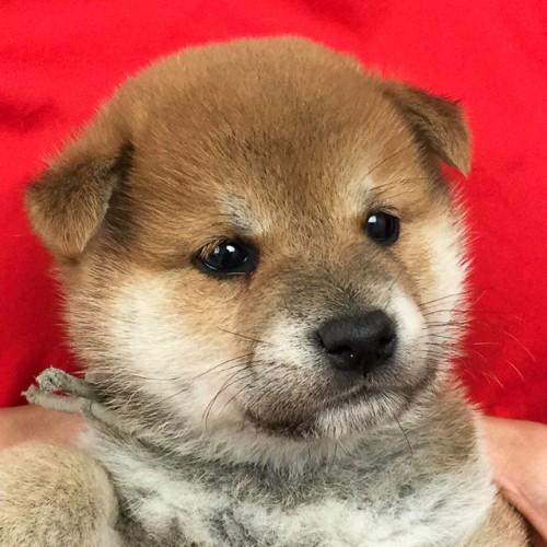 柴犬の子犬(ID:1262511639)の1枚目の写真/更新日:2018-12-05