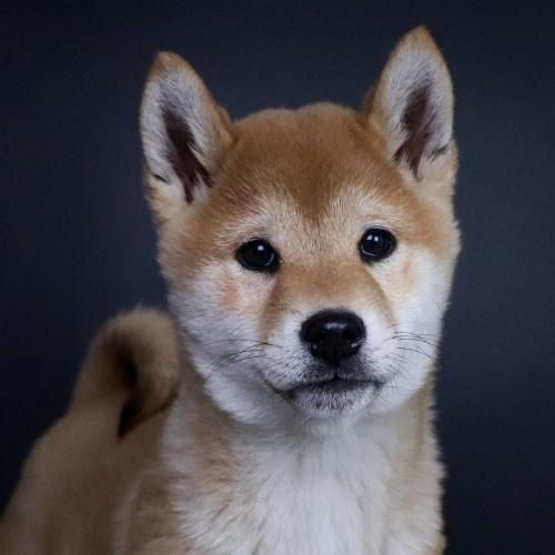 柴犬の子犬(ID:1262511640)の1枚目の写真/更新日:2019-01-11