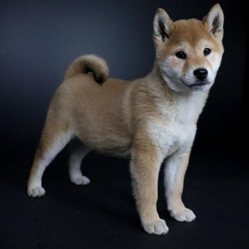 柴犬の子犬(ID:1262511640)の2枚目の写真/更新日:2019-01-11