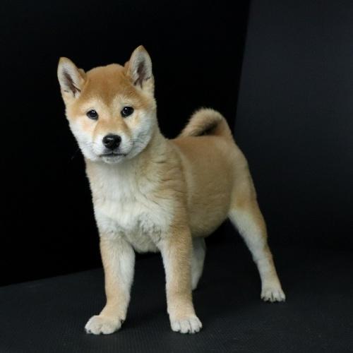 柴犬の子犬(ID:1262511640)の3枚目の写真/更新日:2019-01-11