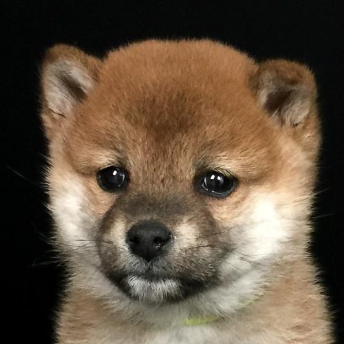 柴犬の子犬(ID:1262511641)の1枚目の写真/更新日:2018-12-23