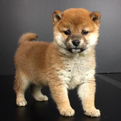 柴犬の子犬(ID:1262511641)の2枚目の写真/更新日:2018-12-23