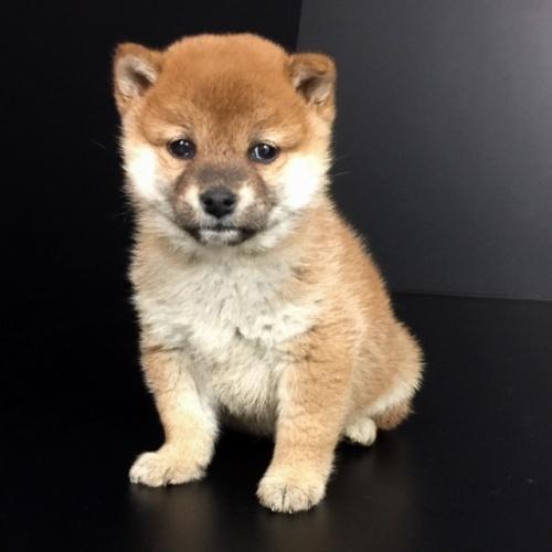 柴犬の子犬(ID:1262511641)の3枚目の写真/更新日:2018-12-23