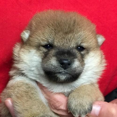 柴犬の子犬(ID:1262511643)の1枚目の写真/更新日:2018-11-24