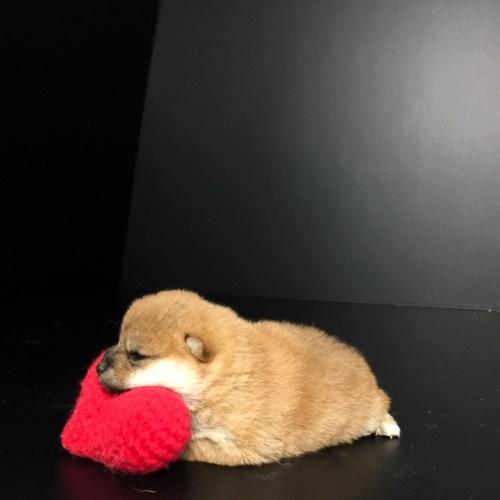 柴犬の子犬(ID:1262511643)の2枚目の写真/更新日:2018-11-24