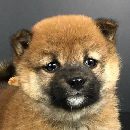 柴犬の子犬(ID:1262511644)の1枚目の写真/更新日:2018-12-22