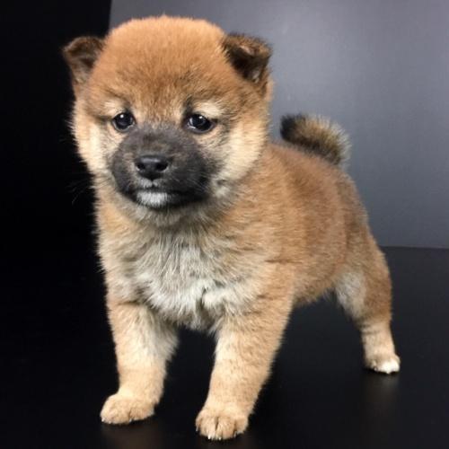 柴犬の子犬(ID:1262511644)の2枚目の写真/更新日:2018-12-22