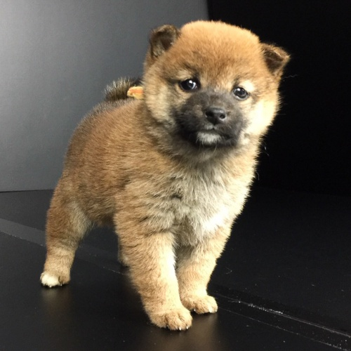 柴犬の子犬(ID:1262511644)の3枚目の写真/更新日:2018-12-22