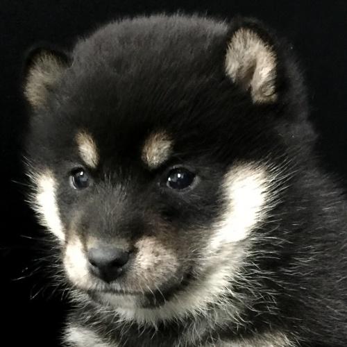 柴犬の子犬(ID:1262511645)の1枚目の写真/更新日:2018-12-19