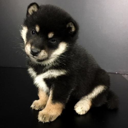 柴犬の子犬(ID:1262511645)の2枚目の写真/更新日:2018-12-19