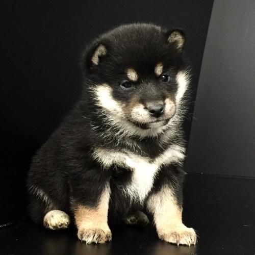 柴犬の子犬(ID:1262511645)の3枚目の写真/更新日:2018-12-19