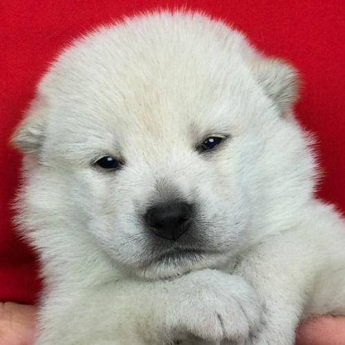 柴犬の子犬(ID:1262511646)の1枚目の写真/更新日:2018-12-08