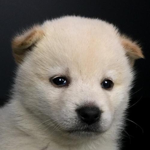 柴犬の子犬(ID:1262511647)の1枚目の写真/更新日:2018-12-08