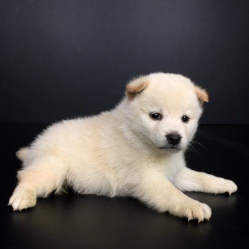 柴犬の子犬(ID:1262511647)の2枚目の写真/更新日:2018-12-19