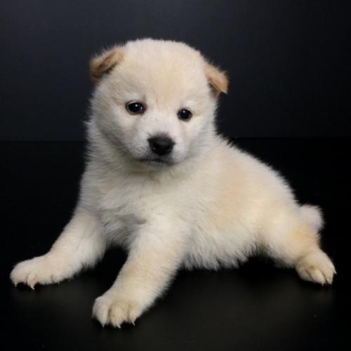 柴犬の子犬(ID:1262511647)の3枚目の写真/更新日:2018-12-19