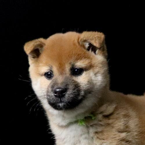 柴犬の子犬(ID:1262511649)の1枚目の写真/更新日:2019-01-09