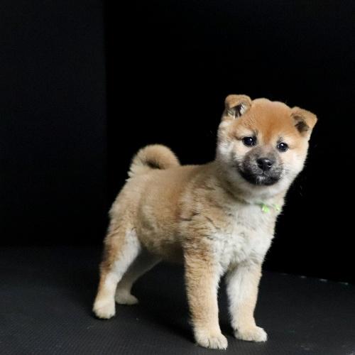 柴犬の子犬(ID:1262511649)の2枚目の写真/更新日:2019-01-09