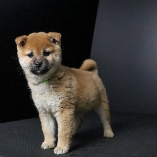 柴犬の子犬(ID:1262511649)の3枚目の写真/更新日:2019-01-09