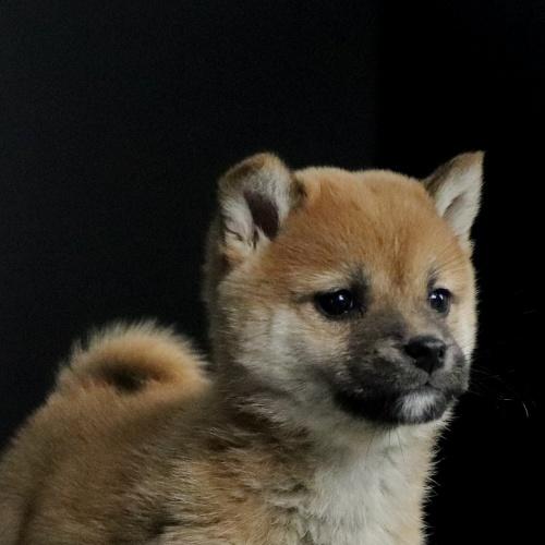 柴犬の子犬(ID:1262511650)の1枚目の写真/更新日:2019-01-09
