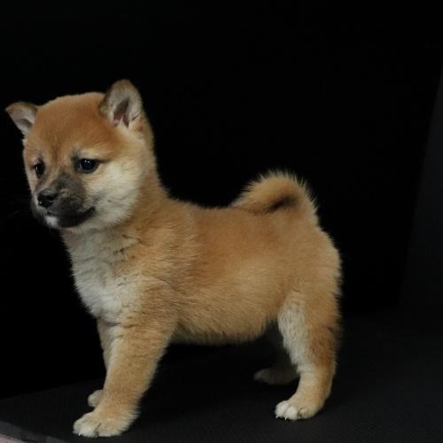 柴犬の子犬(ID:1262511650)の2枚目の写真/更新日:2019-01-09