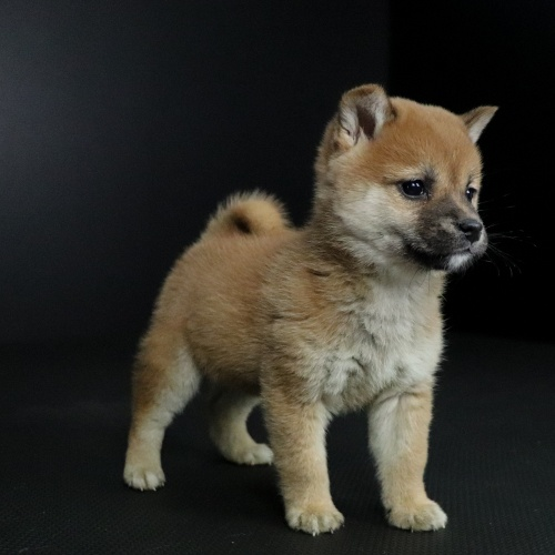 柴犬の子犬(ID:1262511650)の3枚目の写真/更新日:2019-01-09