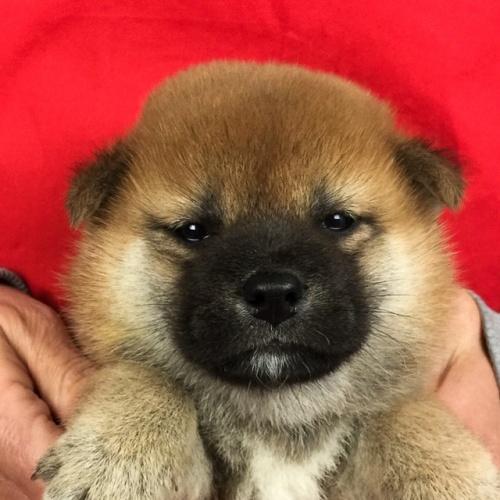 柴犬の子犬(ID:1262511651)の1枚目の写真/更新日:2018-12-27