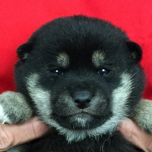 柴犬の子犬(ID:1262511652)の1枚目の写真/更新日:2018-12-25
