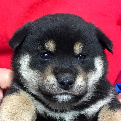 柴犬の子犬(ID:1262511653)の1枚目の写真/更新日:2019-01-01