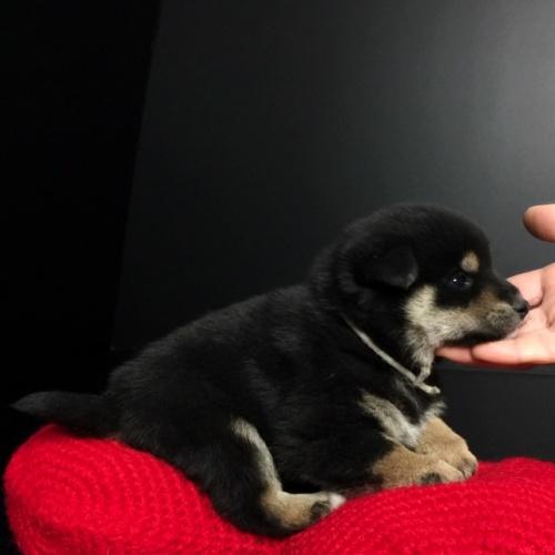 柴犬の子犬(ID:1262511653)の2枚目の写真/更新日:2019-01-01