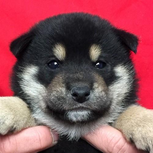柴犬の子犬(ID:1262511654)の1枚目の写真/更新日:2019-01-03