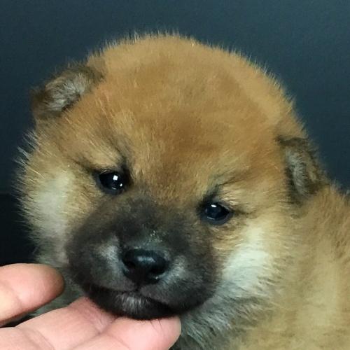 柴犬の子犬(ID:1262511656)の1枚目の写真/更新日:2019-01-04