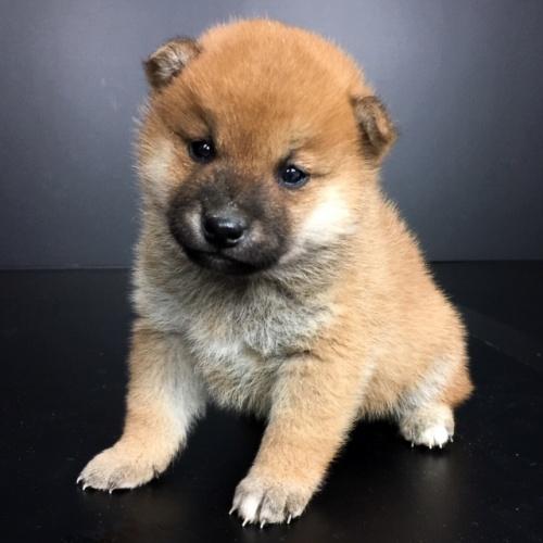 柴犬の子犬(ID:1262511656)の2枚目の写真/更新日:2019-01-04