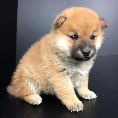 柴犬の子犬(ID:1262511656)の3枚目の写真/更新日:2019-01-04