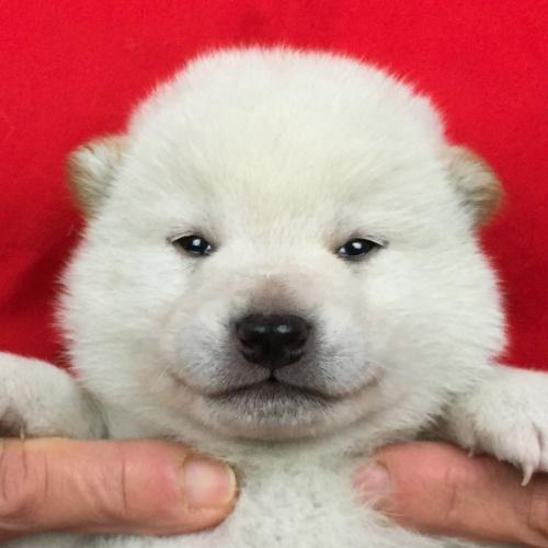 柴犬の子犬(ID:1262511657)の1枚目の写真/更新日:2018-12-26