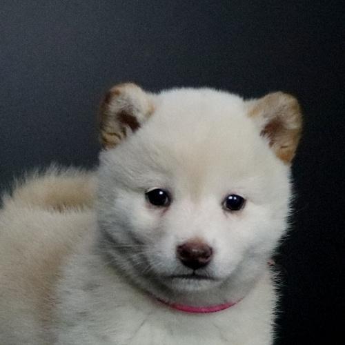 柴犬の子犬(ID:1262511659)の1枚目の写真/更新日:2019-01-14