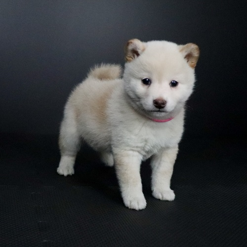 柴犬の子犬(ID:1262511659)の2枚目の写真/更新日:2019-01-14