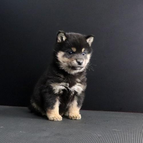 柴犬の子犬(ID:1262511660)の2枚目の写真/更新日:2019-01-16